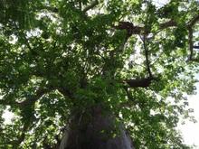 バオバブの木洩れ日